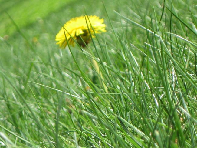 The lonely dandelion Kingston, Nova Scotia
