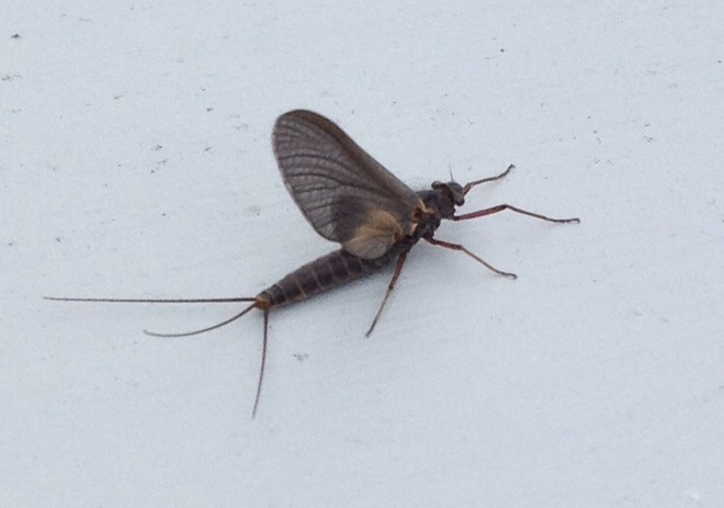 mayfly? Torbay, Newfoundland and Labrador Canada