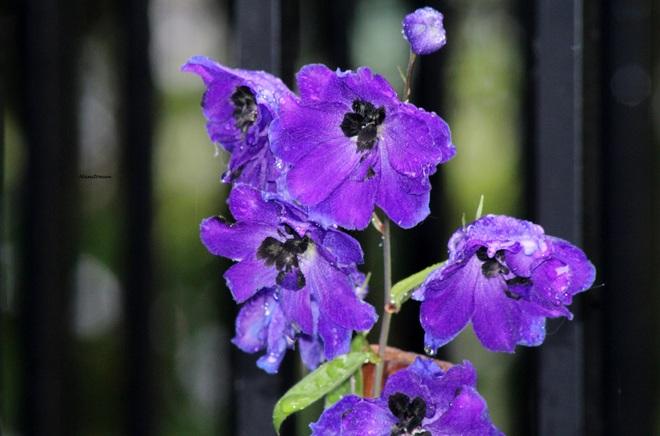 Purple Rain New Westminster, BC