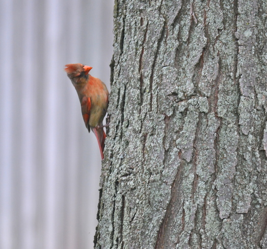 Female Cardinal Oakville, ON