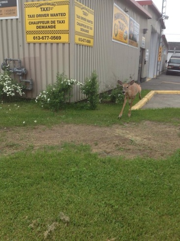 deer Hawkesbury, Ontario Canada