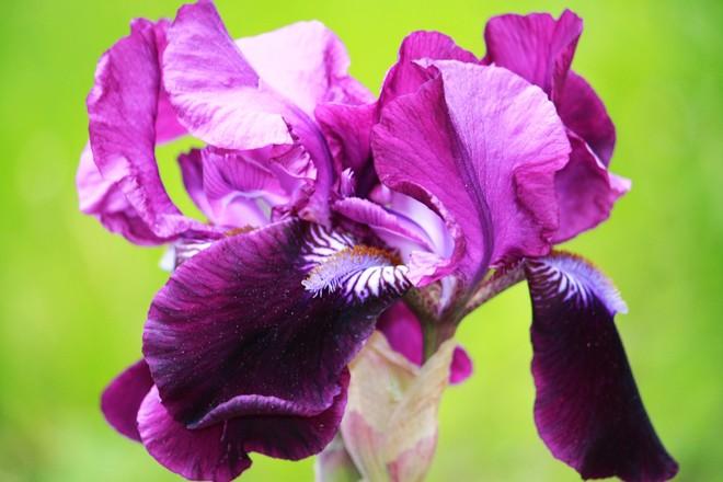Iris.Greek origin.Rainbow Iris. calgary alberta