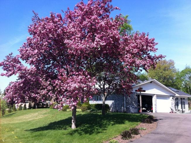 Tree blossom Moncton, New Brunswick Canada