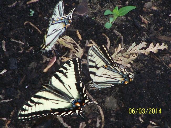 Butterflies in my Garden Kemptville