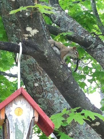 Squirrel getting food Moncton, New Brunswick Canada