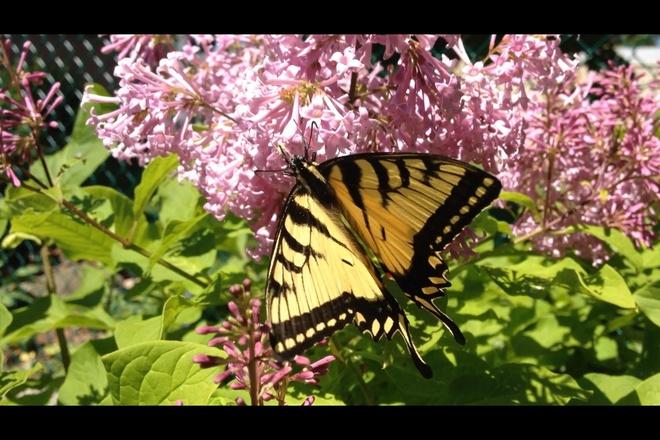 Canadian Tiger Swallowtail Brampton, Ontario Canada