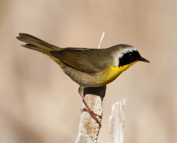 small marsh bird brooks ab
