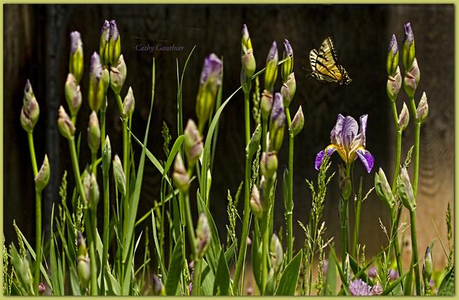 Swallowtail in my Iris bed. Magnetawan, Ontario Canada