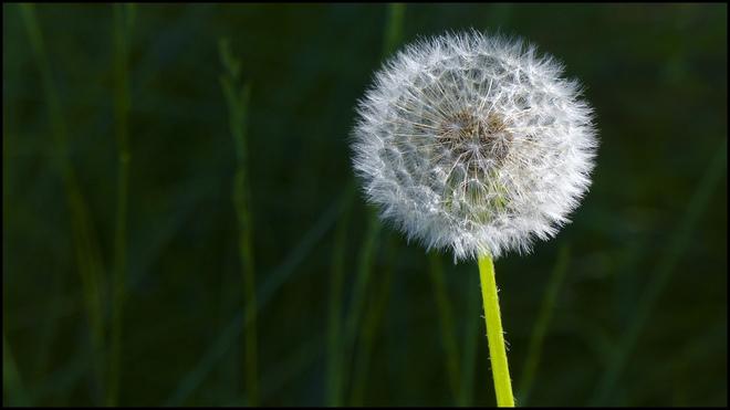 Dandelion seed ball, Esten Dr.