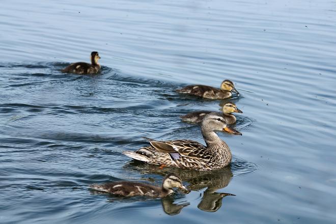 Mallard Family out swimming Kingston, ON