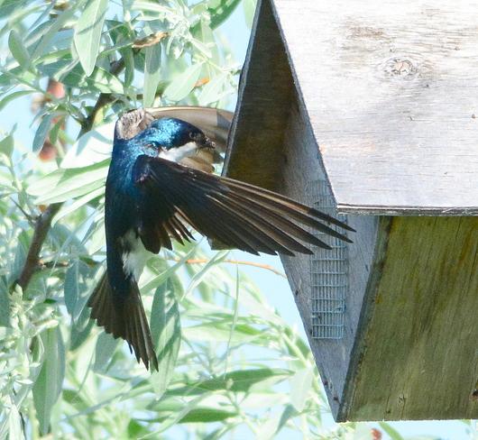 Tree swallows Laval, QC