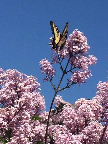 yellow monarch Mannheim, Ontario Canada