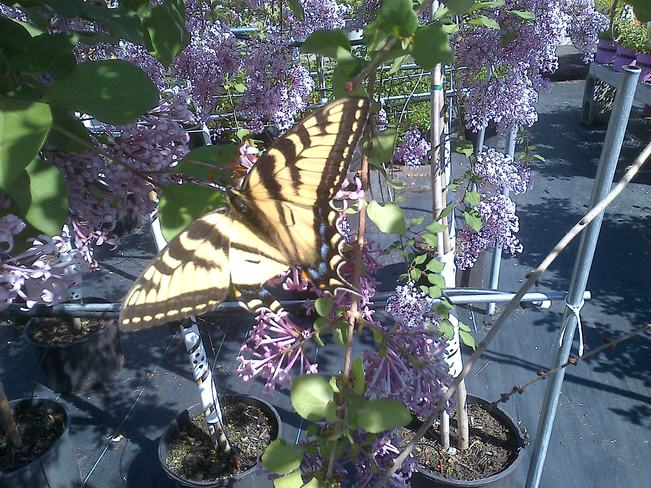 Eastern Swallowtail Butterfly with damaged bottom left Navan Road, Ottawa, ON