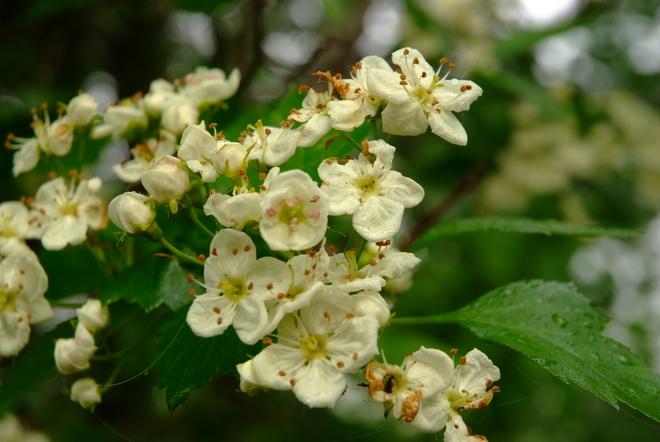 Hawthorn Blooms Leduc, AB
