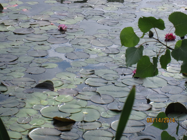 Marsh Marigolds at Angrignon Park Angrignon Park, Montreal, QC