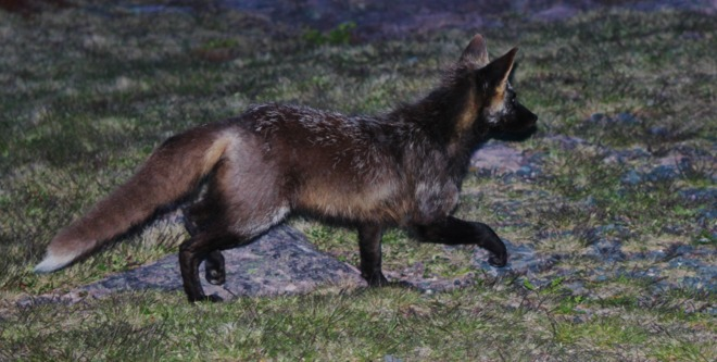 Young Fox. St. John's, NL