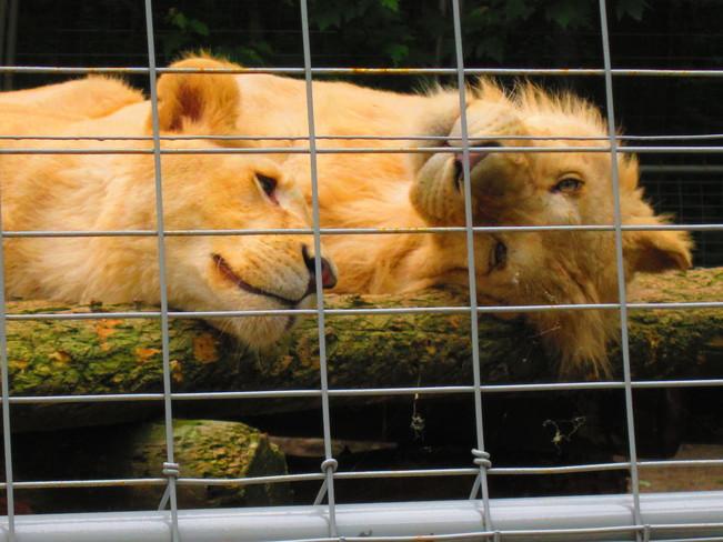 Safari Niagara Lions Niagara Falls, ON
