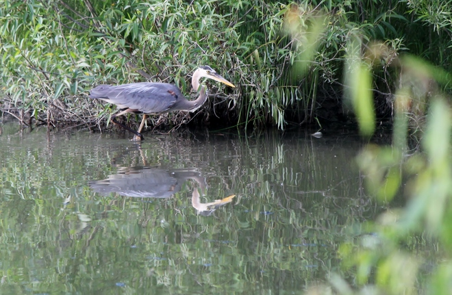 Very Blue Heron London, ON