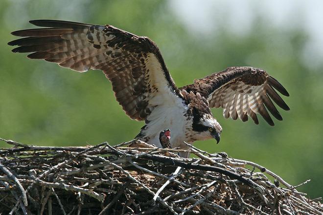 Mother Osprey dwarfs her new chick Iroquois, Ontario Canada