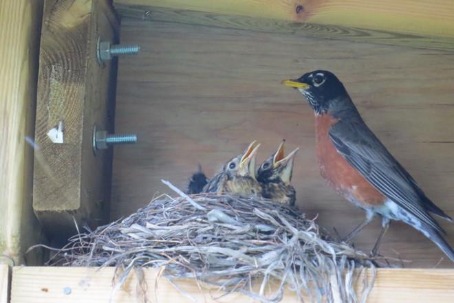 Hungry robins Timmins, ON