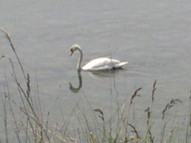 Swans enjoying the day Ajax, ON