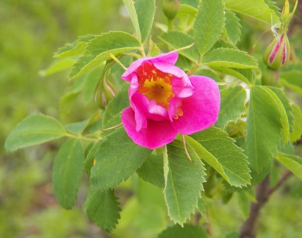 Wild Rose Riske Creek, BC