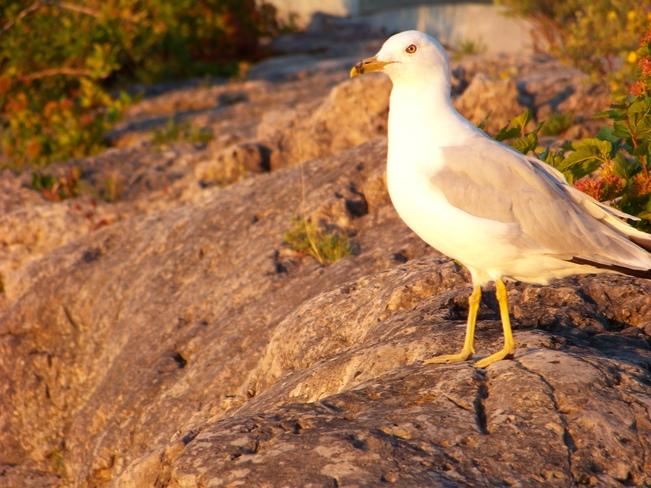 Bacykyard birding Vineland, Lincoln, ON