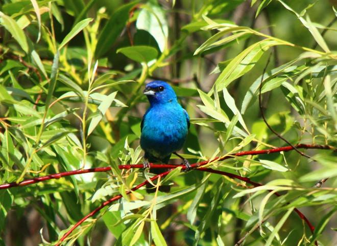 Indigo Bunting Luther Marsh Wildlife Management Area, Wellington North, ON