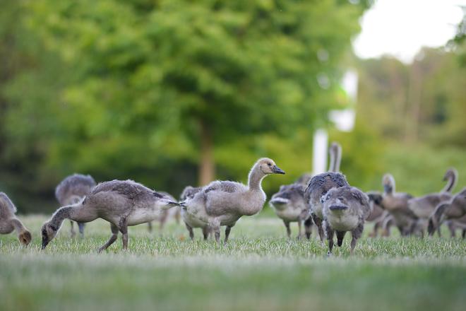 Goslings are taking over Canatara Park :) Sarnia, ON