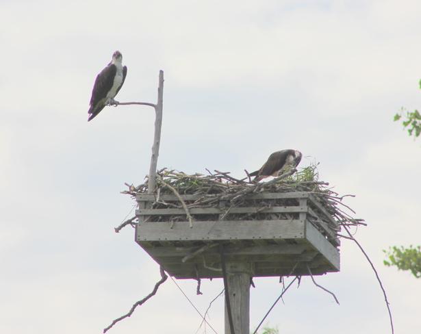 Pair of Osprey Brockville, ON