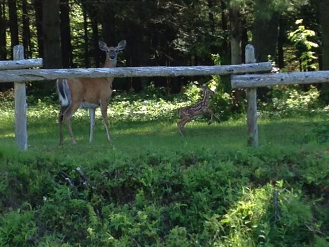 deer and baby Utopia, New Brunswick Canada
