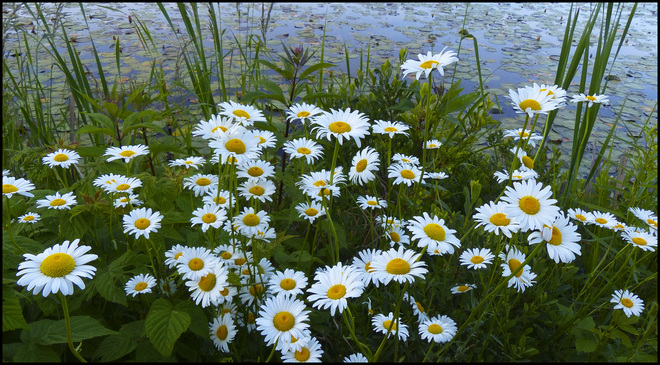 Daisies, Elliot Lake.