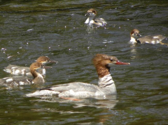 Fenake Nergabser and young chicks. Ottawa, ON