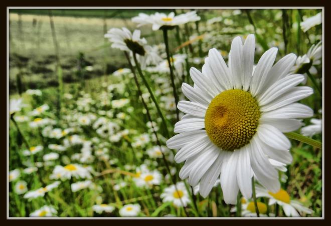 Daisies Enderby, BC