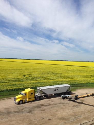 Canola field blooming Portage La Prairie, Manitoba Canada
