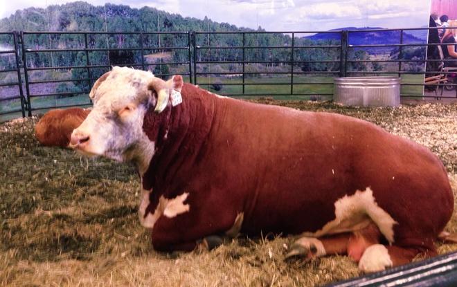 Stampede Show Cow Calgary, Alberta Canada