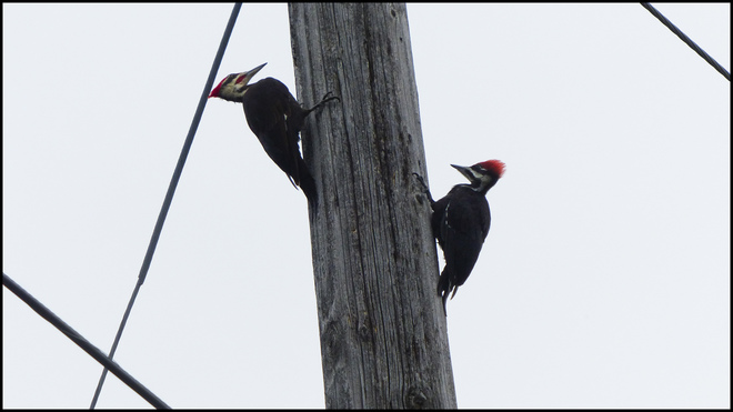 Two woodpeckers, Elliot Lake.
