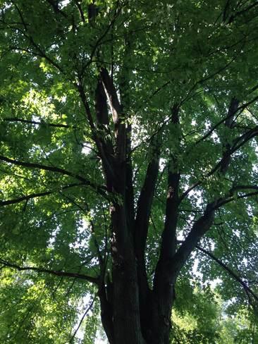 Big Trees Montréal, Quebec Canada