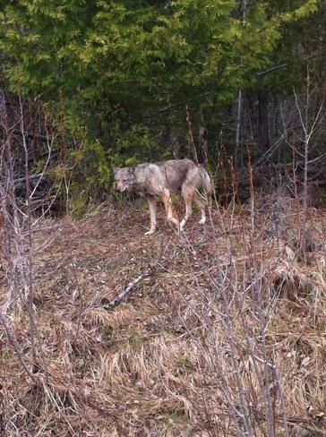 walking gray wolf Thunder Bay, Ontario Canada