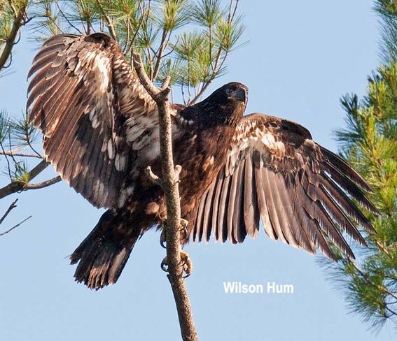 Juvenile Bald Eagle Ottawa, Ontario Canada