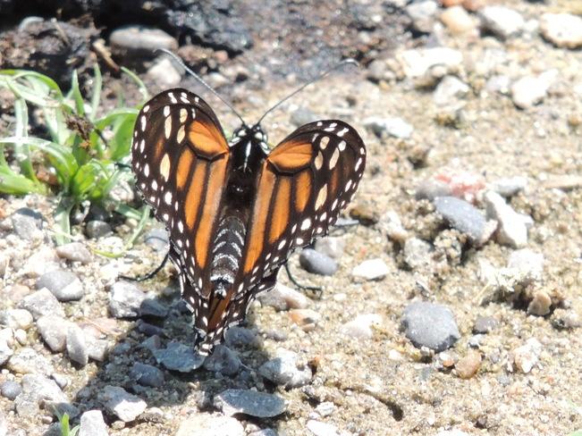 Monarch Milne Dam Conservation Park, Markham, ON