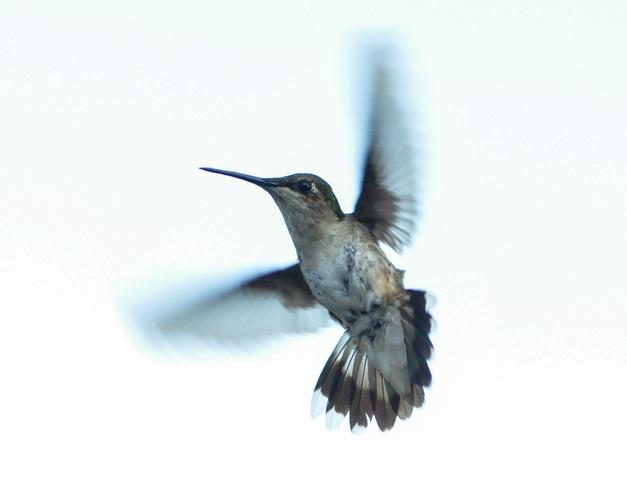 Hummingbird Crediton, ON