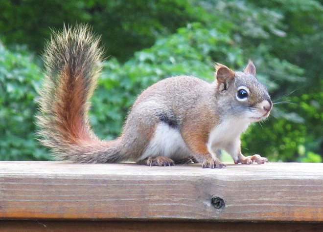 RED Squirrels abundance on our deck Bancroft, ON