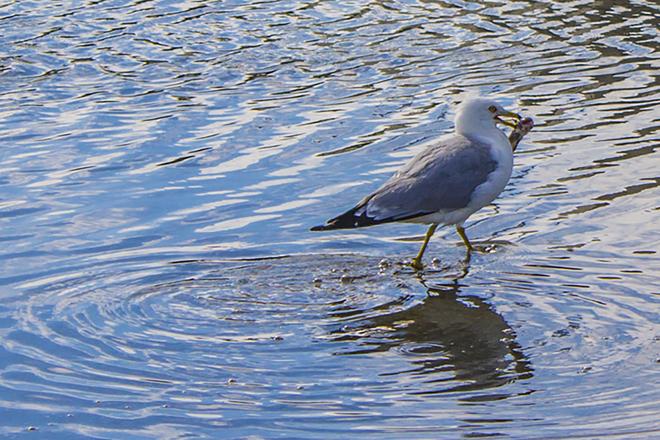 Les oiseaux à Rouyn-Noranda (Lac Osisko) Lac Osisko, Rouyn-Noranda, QC