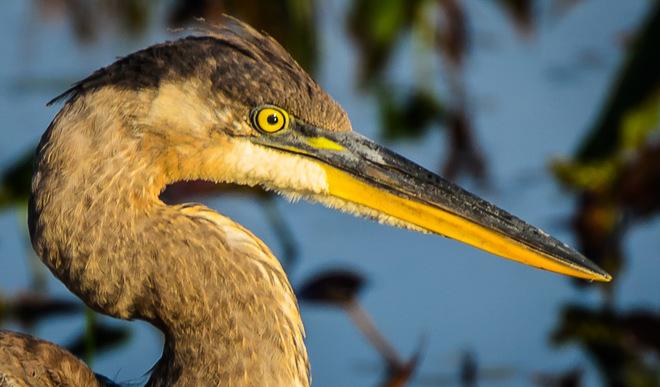Blue Heron Parry Sound, ON