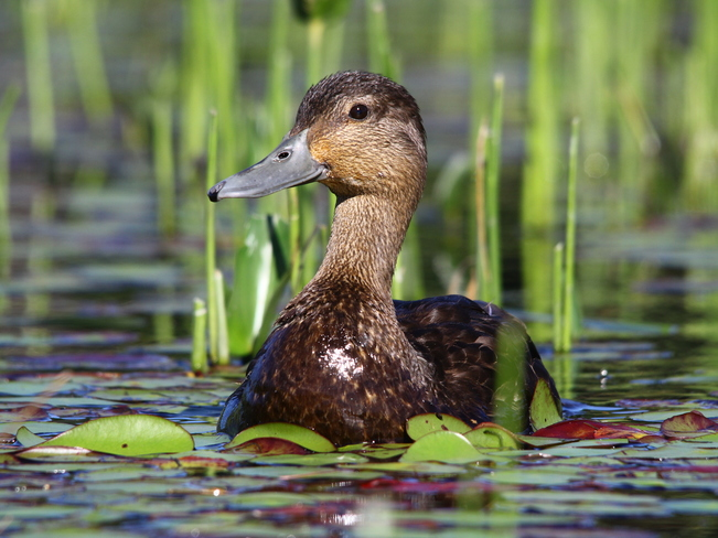 American Black Duck Fergus, ON