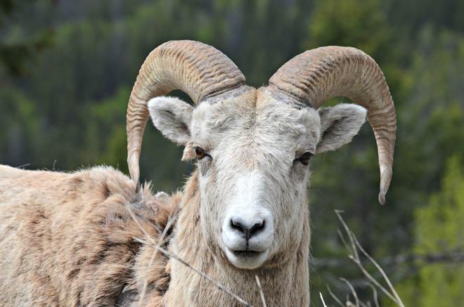 Mountain Sheep Jasper, AB