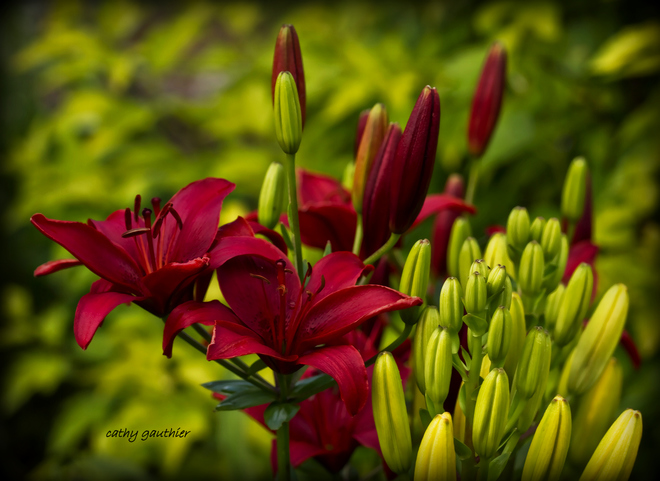 Asiatic Lily Magnetawan, ON