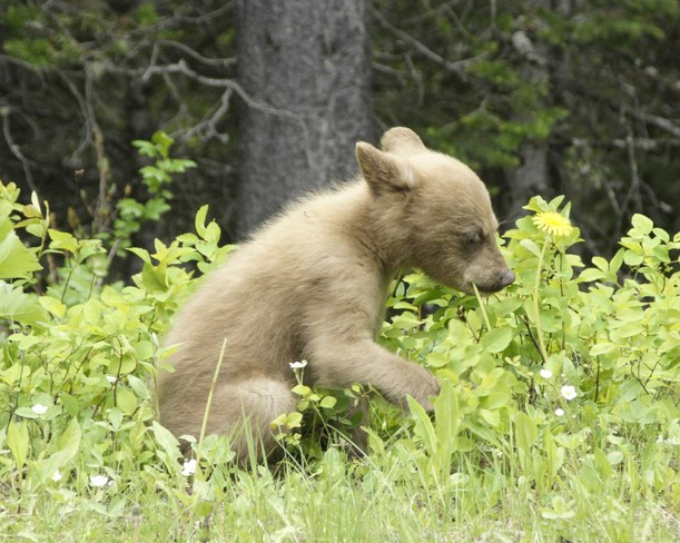 Baby Brown Bear Calgary, AB