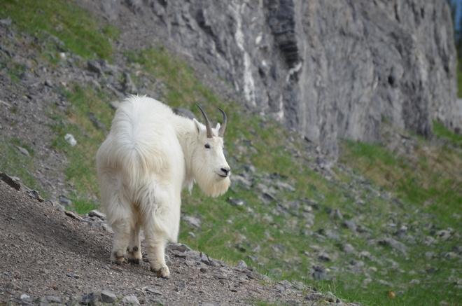Mountain Goat Jasper, AB